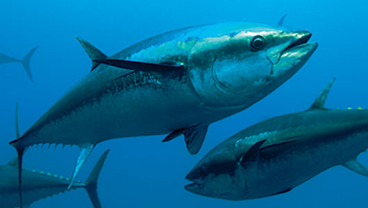 Tuna recipes removed from view due to tuna overfishing for What do tuna fish eat